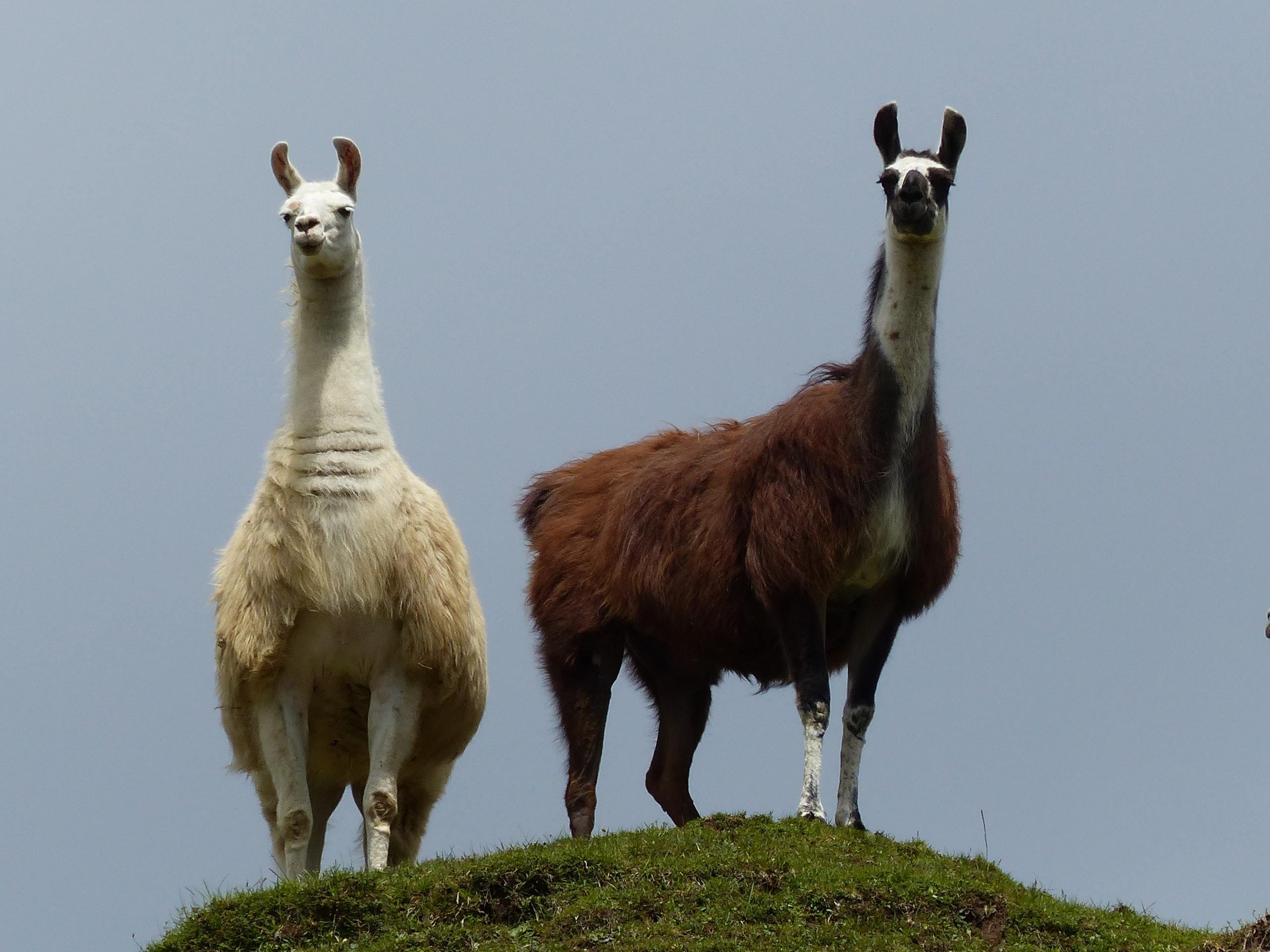 Grazil und anmutig stehen die Lamas immer in Erwartungshaltung, ob Gefahr für ihre Herde droht.