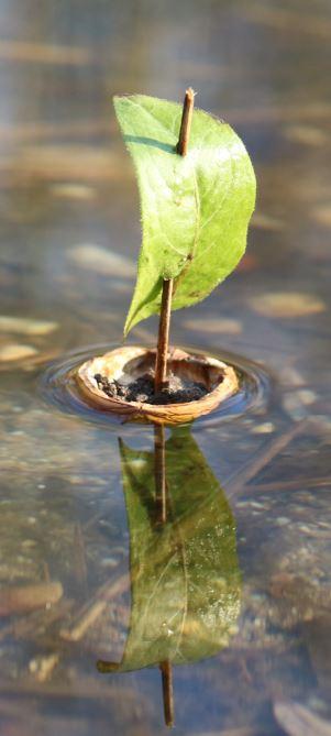 «Schiffli fahre uf em See…» seit jeher faszinieren Kinder schwimmende Schiffli auf dem Wasser. Wallnussschiffli, das Thema für die nächste Naturwerkstatt an einem Elternbesuchstag im Wald
