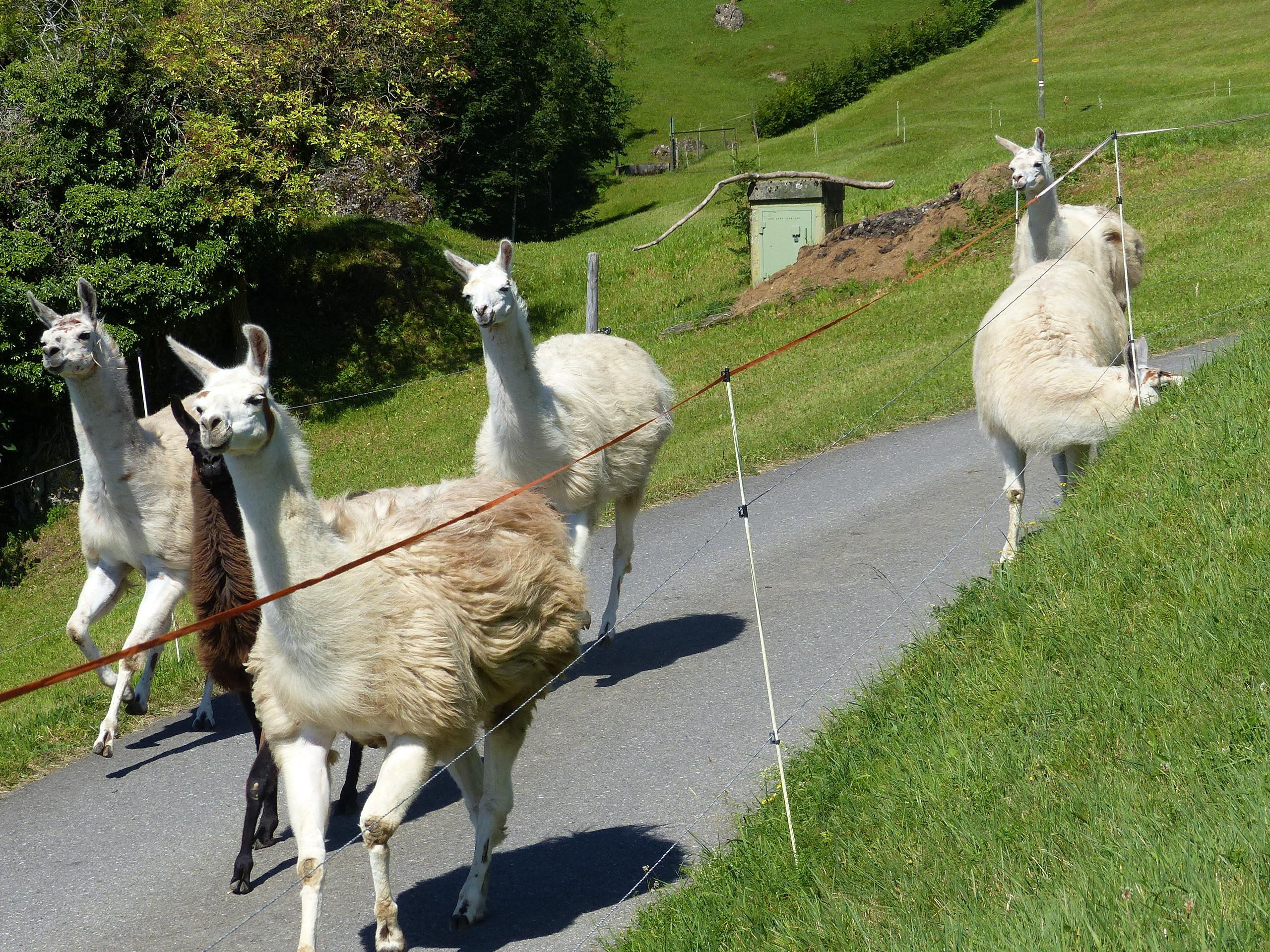 Im laufenden Galopp springen die Lamas von der Weide zurück in ihren Stall