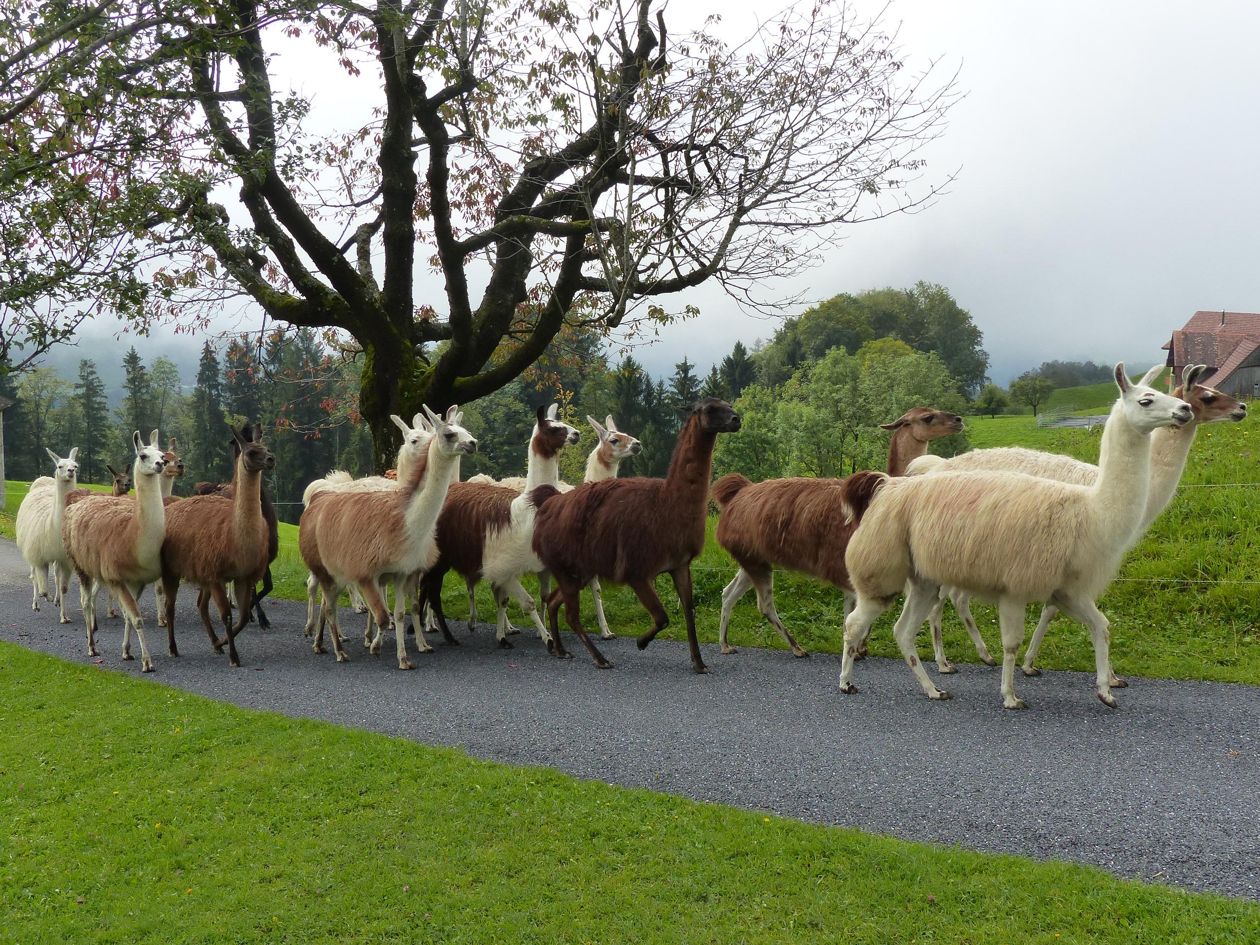 Familie Betschart lebt mit fünfzig Lamas auf ihrem Lamahof in Sattel im Kanton Schwyz. Hier sind sie gerade auf dem Weg zu ihrer Weide.